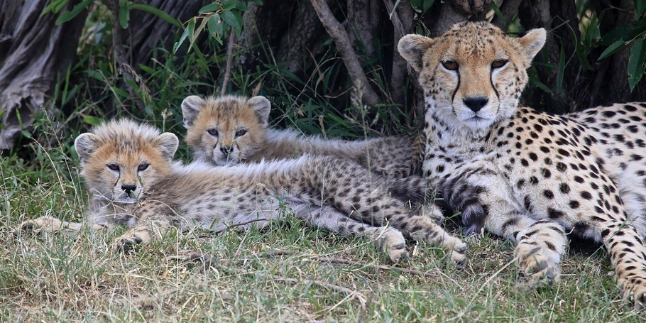 Cheetah cubs - Kenya