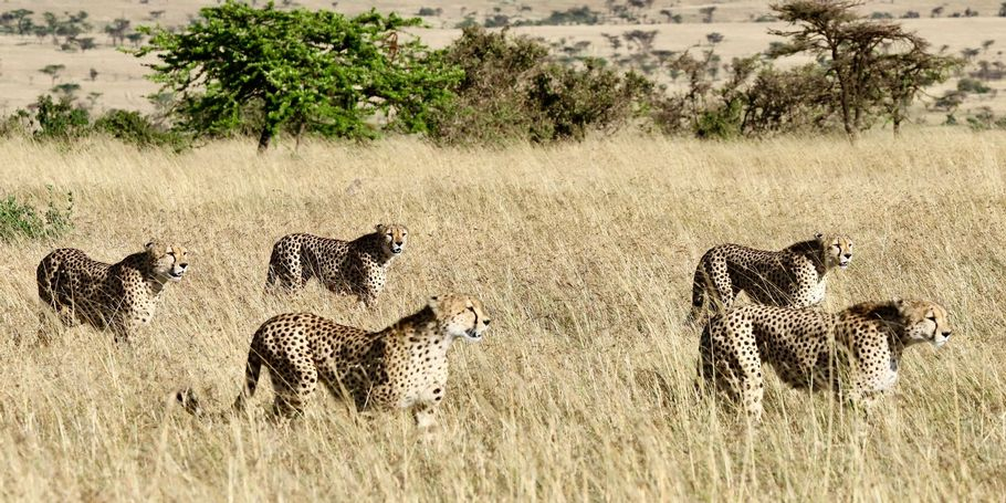 Five cheetah brothers form a hunting coalition in Kenya