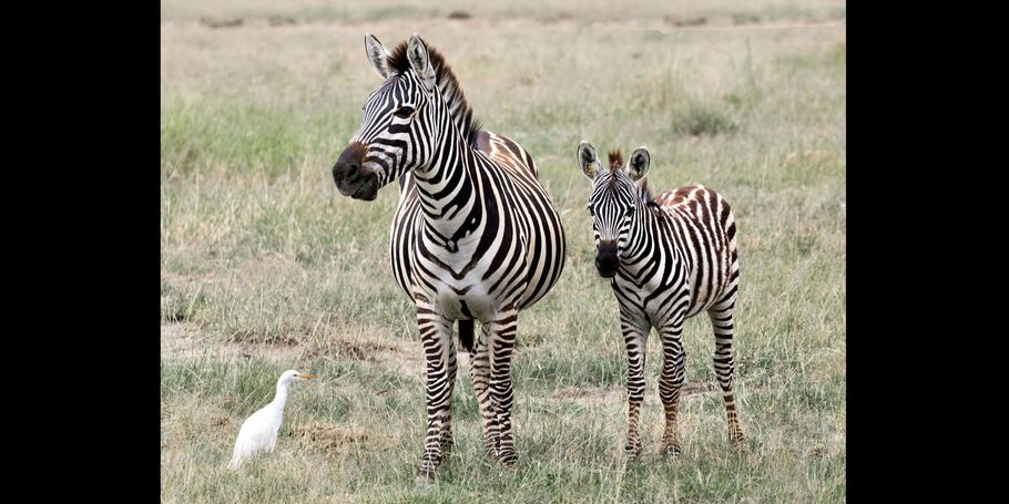 Zebra And Young With Egret