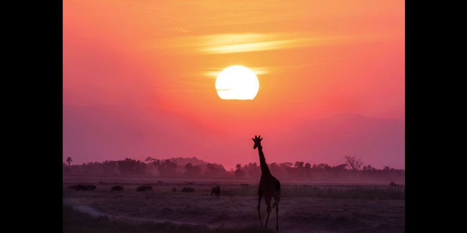Giraffe Walking Into Sunset