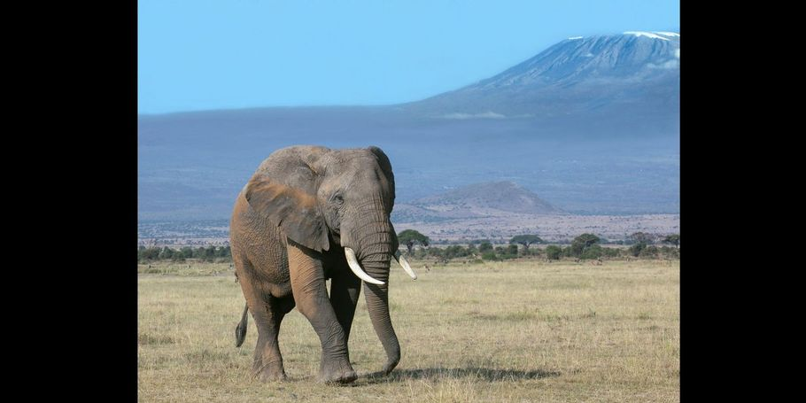 Elephant Bull and Mt. Kilimanjaro
