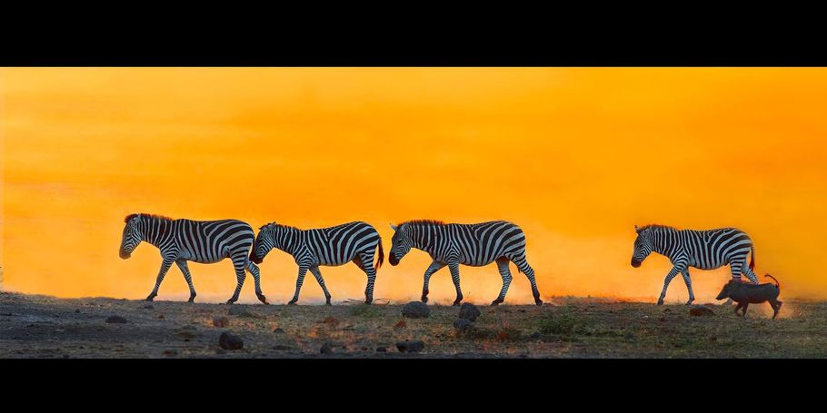 Zebra Leaving At Sundown